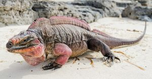 Visit the Bahamas Rock Iguana at Bitter Guana Cay located close to Staniel Cay and the Staniel Cay Yacht club. Bahamas Air Tours provides day Bahamas Day Trips from Florida to Bahamas with their private charter flights. Fly to the stunning Exuma Cays in the Bahamas Out Islands.