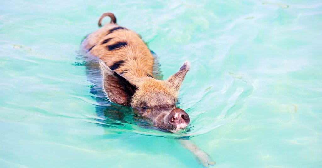 Swim with the Pigs in the Bahamas. Take our unique Bahams Pigs Tour from Florida to Bahamas. Bahamas Air Tours provide private charterflight to Bahamas and one day trips. Take our Pig Island Bahamas TOurs and visit the famous Exuma Pigs in Staniel Cay or the Swimming pigs bahamas at Green Turtle Cay