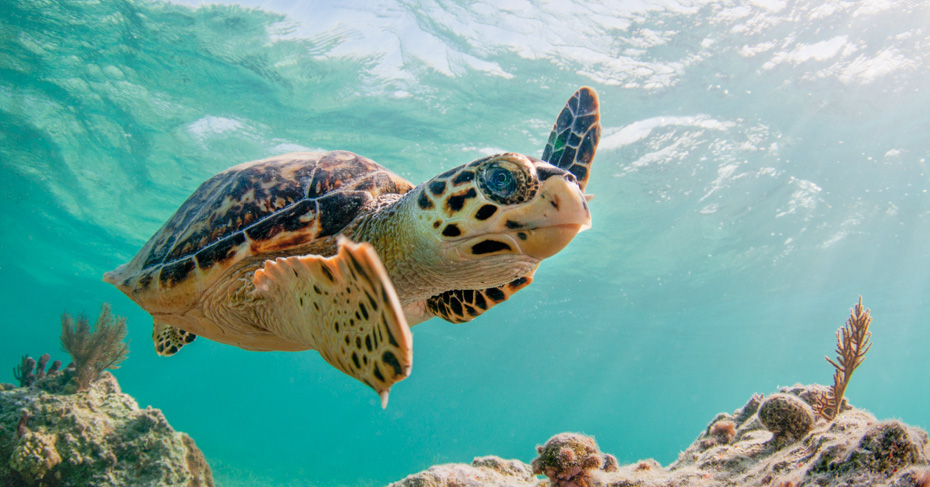 Swim with turtles at Green Turtle Cay on the Abacos Bahamas on a Florida to Bahamas day trip with Bahamas Air Tours. Flying into Treasure Cay airport our Bahamas Flights also feature the Exuma Pigs in Staniel Cay Exuma