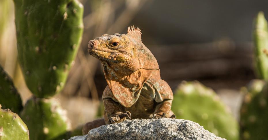 San Salvador Bahamas rock iguana at the Gerace Research centre on San Salvador island Bahamas.