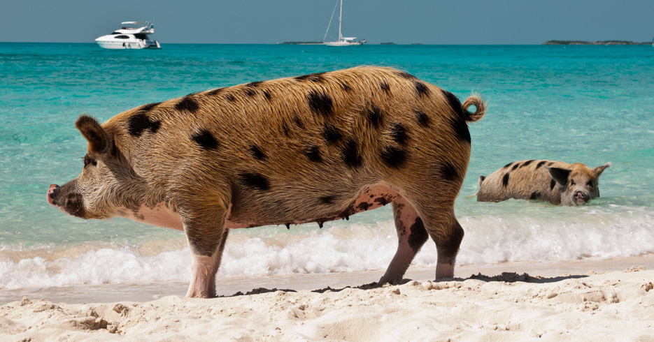 Nassau Swimming Pigs in the Exumas Staniel Cay. Wild pigs on Big Majors Island in The Bahamas, lounging and walking around in the sand and ocean.How to get from Nassau to Exuma? Take the baot or plane. Private Bahamas Air Charters with Bahamas Air Tours.