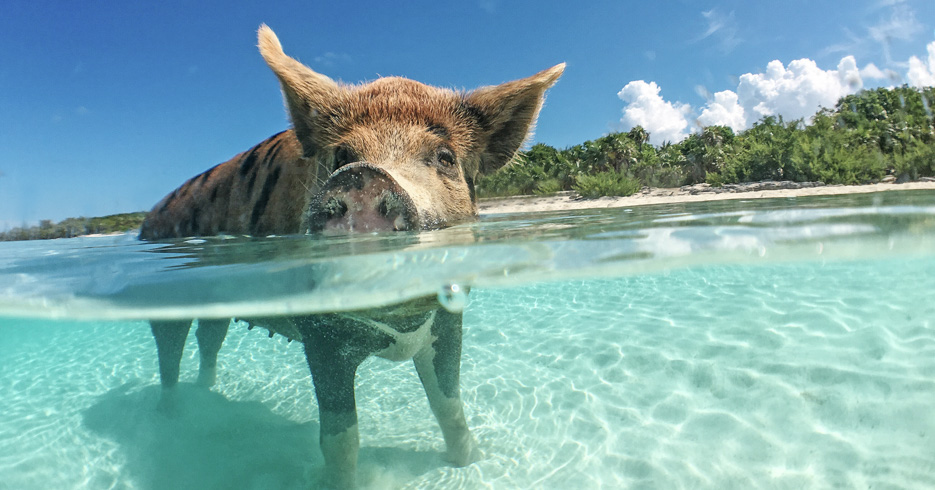 Pig beach excursion from Nassau swimming pigs. Discover the pig island excursion from Nassau and visit the famous swimming pigs
