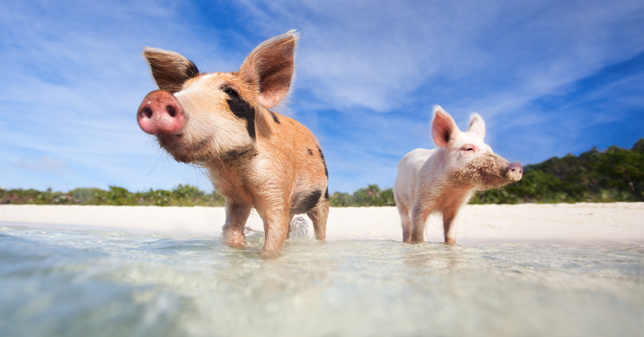Pig Island Bahamas Tour on a day trip to Bahamas with flights from Florida to Bahamas. Swim with pigs excursion from Staniel cay in the Exuma Cays with Bahamas air tours. The ultimate Exuma pigs tour!