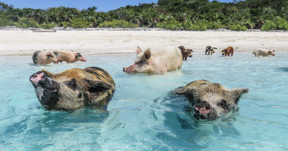 Swim with pigs Excursion on a day trip to Bahamas with Bahamas Air Tours. Take the unique exuma pigs tour from staniel cay on a guided swimming pigs tour.