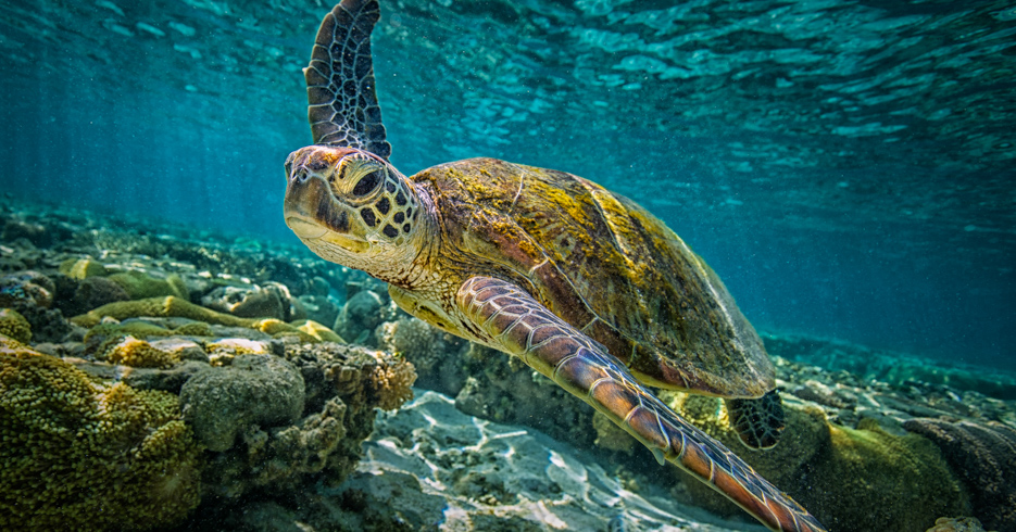 Bahamas Scuba Diving to the Green Turtles in the Abacos Islands. Explore the best diving in the caribbean with our best diving Bahamas destination guide. Fly from Florida to Bahamas with Bahamas Air Tours.