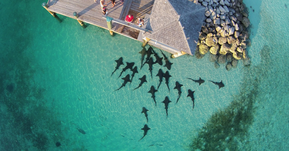 Bahamas Tourist Attractions at Compass Cay Sharks. Explore Staniel Cay in the Exumas and visit the best things to do in Bahamas. Looking for where to go in the Bahamas