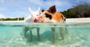 Nassau to Exuma Day Trip for Swimming with Pigs Bahamas. Discover the famous Exuma PIgs on a Staniel Cay Day Trip with Bahamas Air Tours. Learn how to get to Pig Island Bahamas by plane or boat.