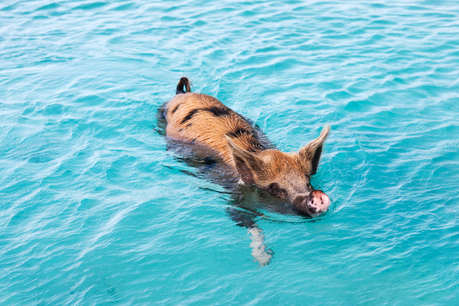 Bahamas Day Trip Swimming Pigs at Green Turtle Cay and Treausre Cay in the Abaco Bahamas.