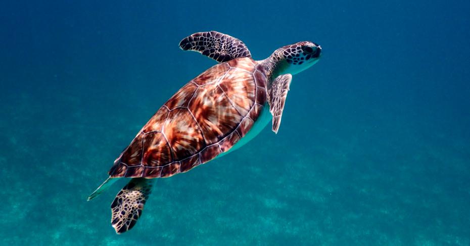 The beauty of the Bahamas Wildlife. Swimming with Bahamas Turtles at Farmers Cay, Exuma, Satniel Cay. Flights from Nassau to Exuma with Bahamas Air Tours.