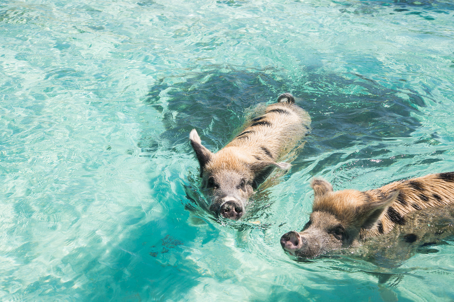 Join our day tour of Bahamas to see the best of the Pig Beach Exuma Pigs and see why Pig Beach Bahamas is one of the most popular attractions on Big Major Cay to see the swimming pigs bahamas day trip.