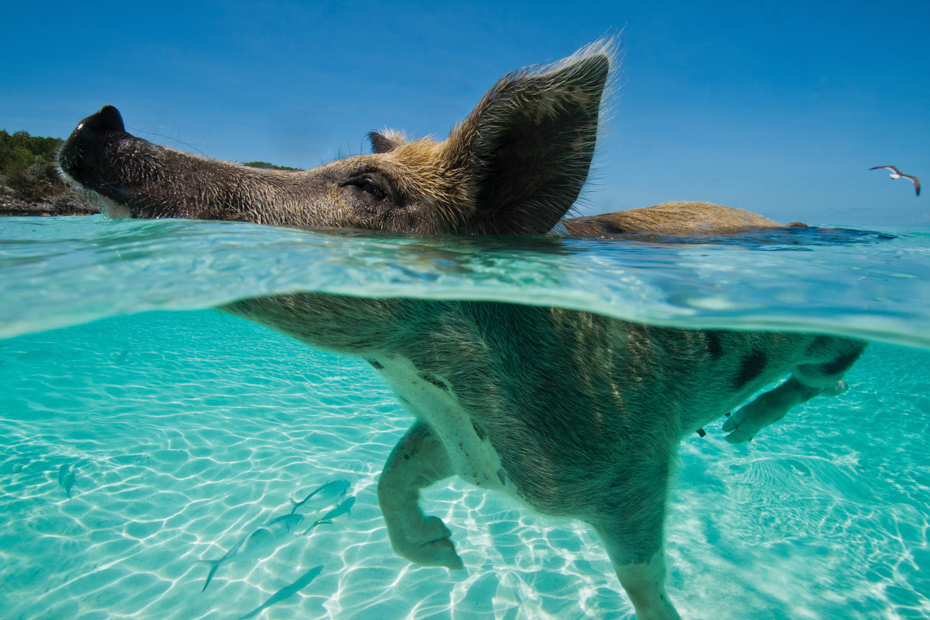 The lovable swimming pigs Bahamas are a favorite of any day trip. Swimming Pigs Bahamas Exuma Pigs on Pig Island and Pig Beach of Big Major Cay on a Pig Beach Bahamas Tour
