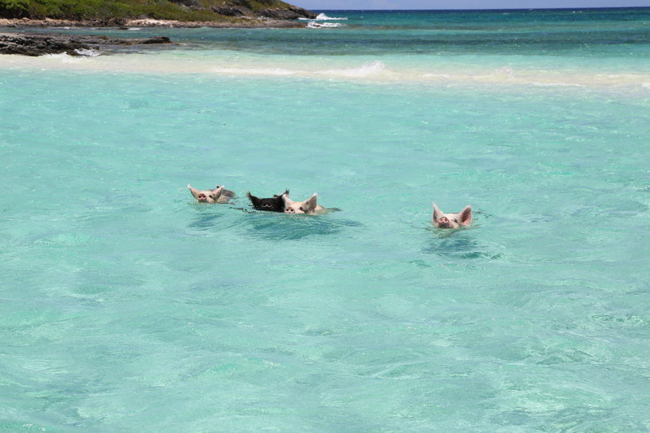 Swimming pigs in the sea at Big Major Cay in the Exumas on Swimming Pig Island