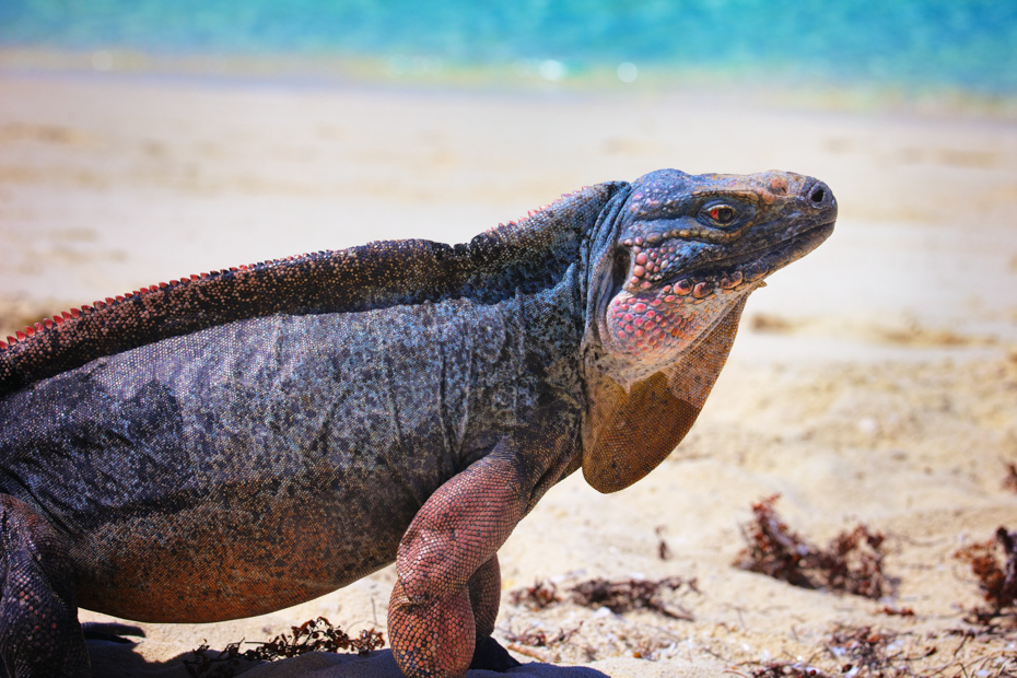A Bahamian Island Iguana from the Exuma Land and Sea Park. Visit the Iguanas on a Bahamas from Fort Lauderdale Bahamas Day Trip