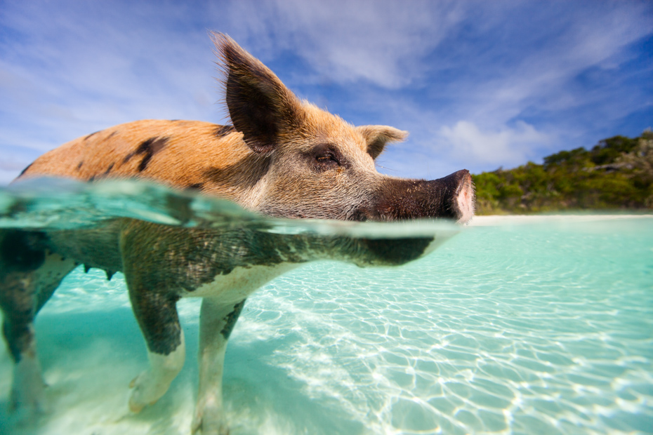 Swimming pig in a water at beach on Exuma Bahamas. One day cruise to Bahamas from Miami is a great Florida attraction. Day Trips from Miami are very common. Miami day trips to the Bahamas and Day cruise Miami to Bahamas Air Tours are the perfect way. Take day cruises from Miami or a trip from Miami to Bahamas.
