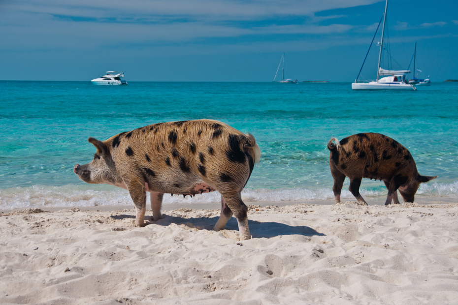 Day Trip to Bahamas swimming pigs from Fort Lauderdale by plane with Bahamas Air Tours on a Bahamas adventure to Pig Beach at Big Major Cay