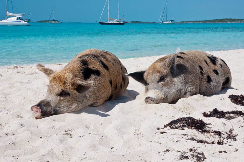 How to Get to Pig Island and the famous Swimming Pigs