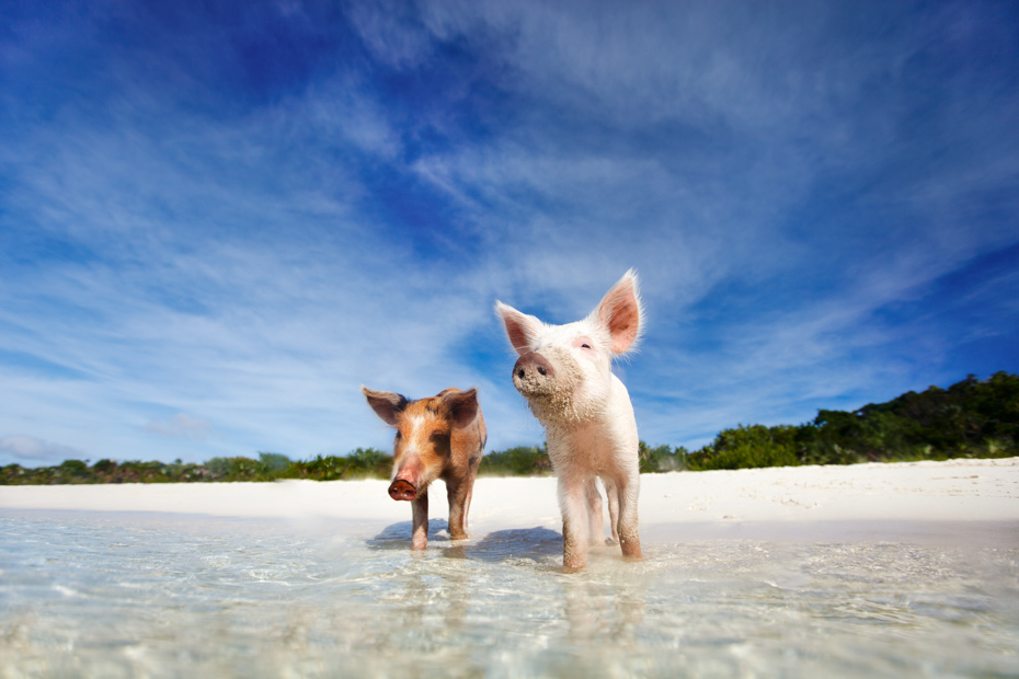 Swimming pigs of the Bahamas in the Out Islands of the Exuma.