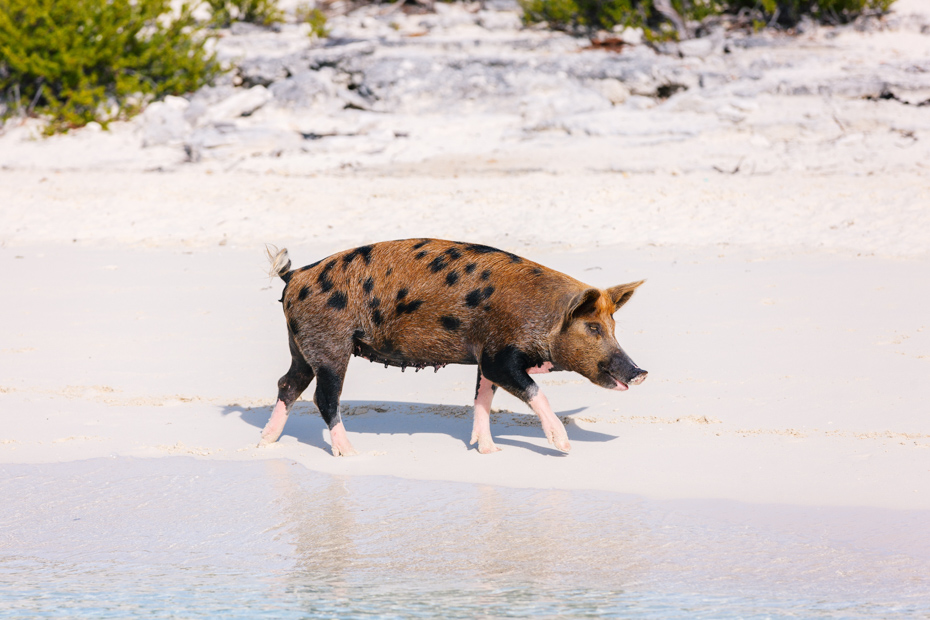 Pig on Big Major Cay, Pig island Bahamas. Meet the Bahamas Swimming Pigs on a Staniel Cay Day Tour from Nassau or Miami with Bahamas AIr Tours.
