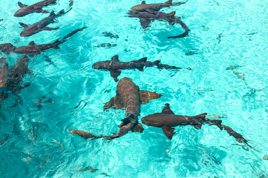 Compass Cay Swim with Sharks experience is swimming with Nurse Sharks in the Bahamas Exuma island. Come and experince the number one rated attraction in the Bahamas Islands - Compass Cay Exuma and their famous Bahamas Sharks!