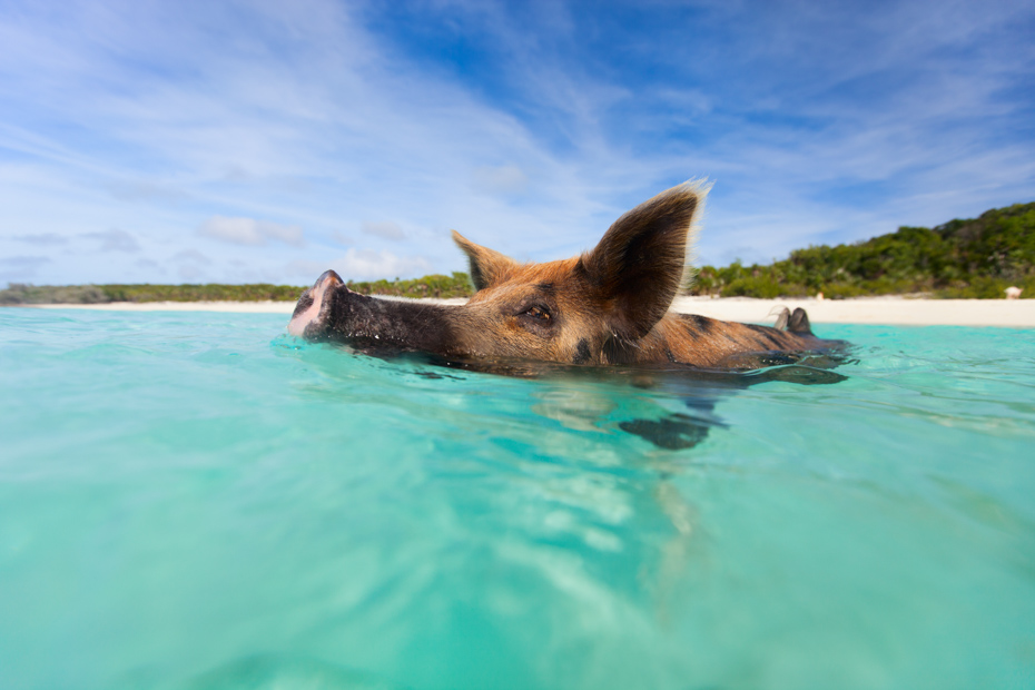 Day Trips from Nassau to Pig Island Bahamas on a Staniel Cay day trip to the famous swimming pigs