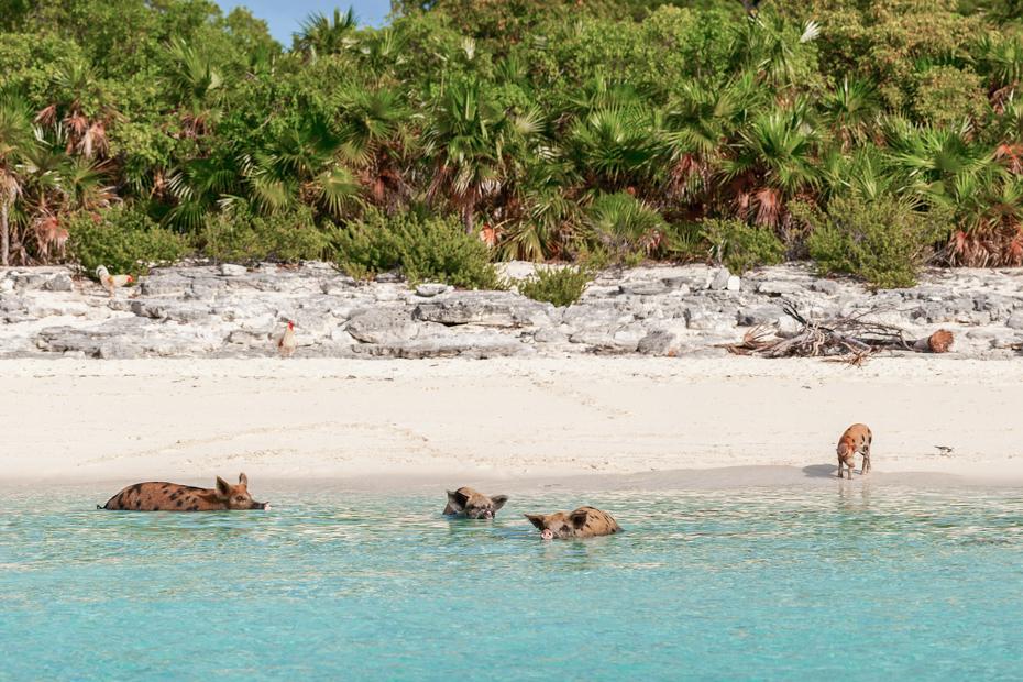 Exuma Pig Beach Bahamas in the Exumas. Visit Pig Island with a Bahamas Day Trip from Bahamas Air Tours