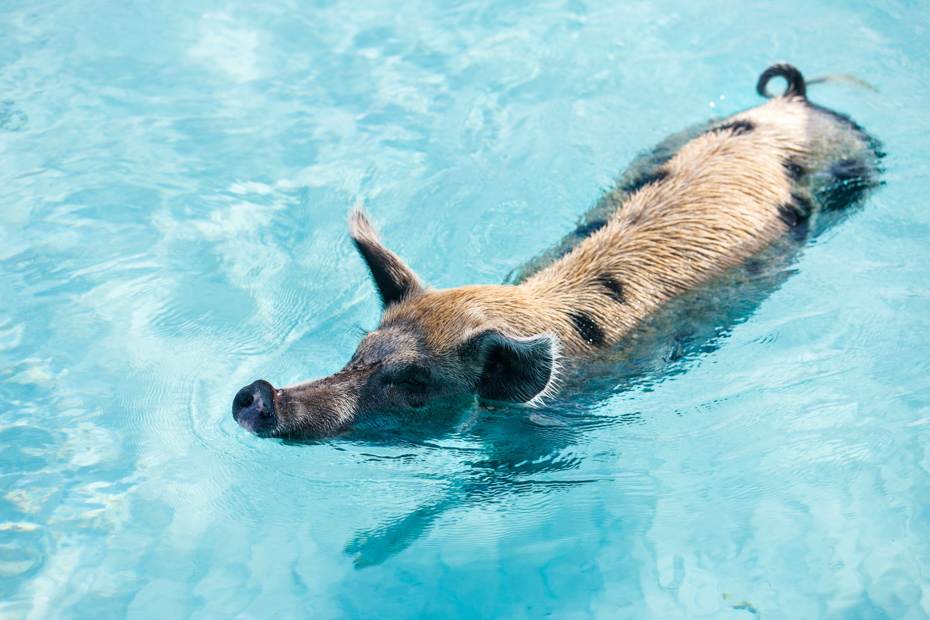 Pig swimming in a water near island of Exuma Bahamas. Check out this Miami to Bahamas flight on a Bahamas charter you've always dreamed of. Imagine yourself on one of our flights from Miami to Nassau or other flights to Bahamas ready to enter paradise. Our Florida to Bahamas flights are one of the best day trips in Florida. Bahamas Air Tours gives you your guide to Day Trips to Bahamas by flights to Bahamas aboard Bahamas Air Charters to Swimming Pigs tours and the Exuma pigs on Pig Island at Pig Beach. Join one of our Staniel Cay Day trips on our Nassau to Staniel Cay day tour or opt for the Staniel Cay Day trips by the way of Bahamas Day Trips by plane. Trips to Bahamas to see pigs in Bahamas. Miami to Bahamas day trip is one of the top Florida attractions.