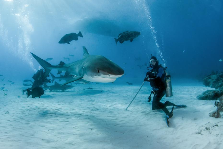 Nassau Shark Dive in the Bahamas with a Tiger shark at Tigerbeach, Bahamas