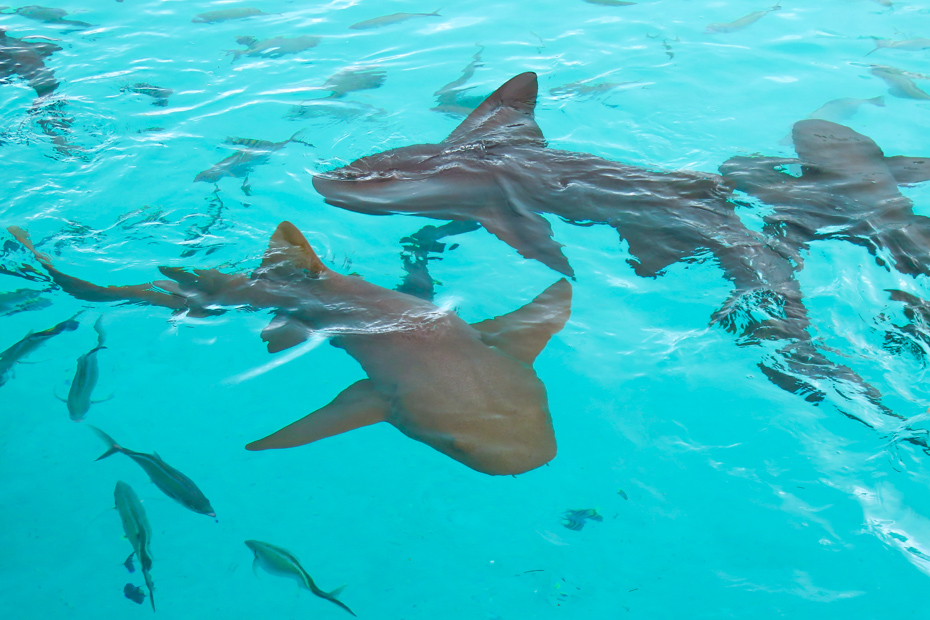 Nurse Sharks at Compass Cay Marina in the Exumas. Explore Compass Cay on a Bahamas Day Trip by plane.