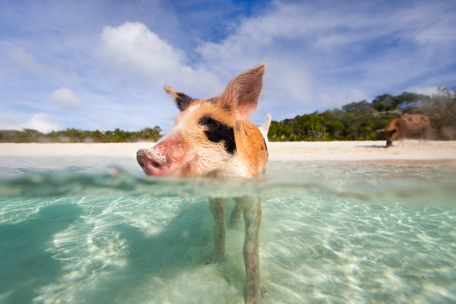 Little piglet in a water at beach on Exuma Bahamas. Join the Staniel Cay Tours on any of the many Staniel Cay Day Trips from Miami.