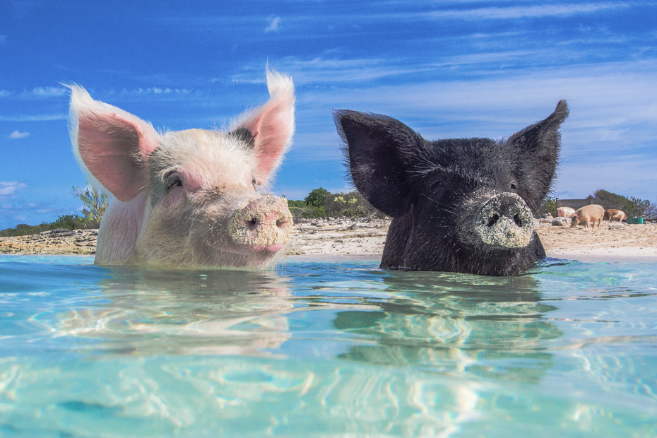 Swimming Pigs Island in the Exumas is called Big Major Cay, and can be visited on a Staniel Cay Day Trip with Bahamas Air Tours from Nassau.