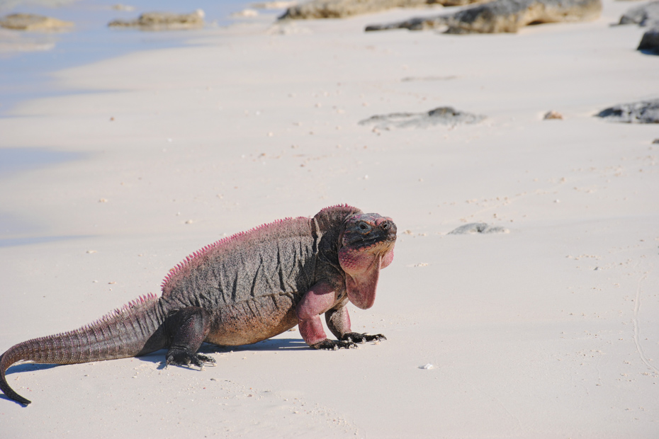 Check out the Bahamian lizards on any number of Exuma excursions. There are also many Exuma pigs excursion but the best are with Bahamas Air Tours on Nassau excursions.