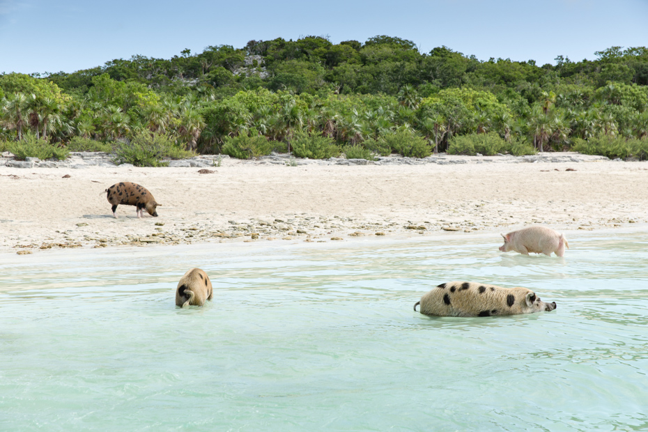 Pig Beach is a Nassau Bahamas excursions worth doing. It puts you up close to these cute animals on Pig Beach and is one of the top things to do in Bahamas activities.