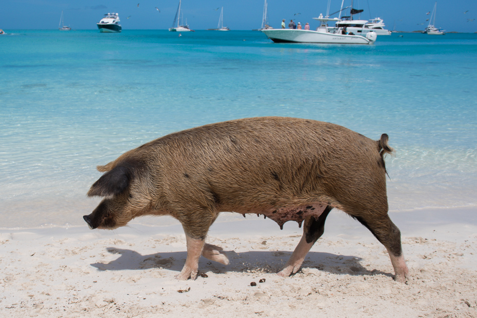 Bahamas Swimming Pigs at the Swimming Pigs Beach at Staniel Cay