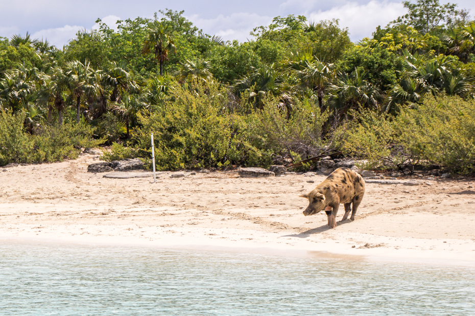Pig Beach in the Exumas Bahamas is home to the famous Bahamas Swimming Pigs. Travel to Pig Beach with Bahamas Air Tours from Nassau.