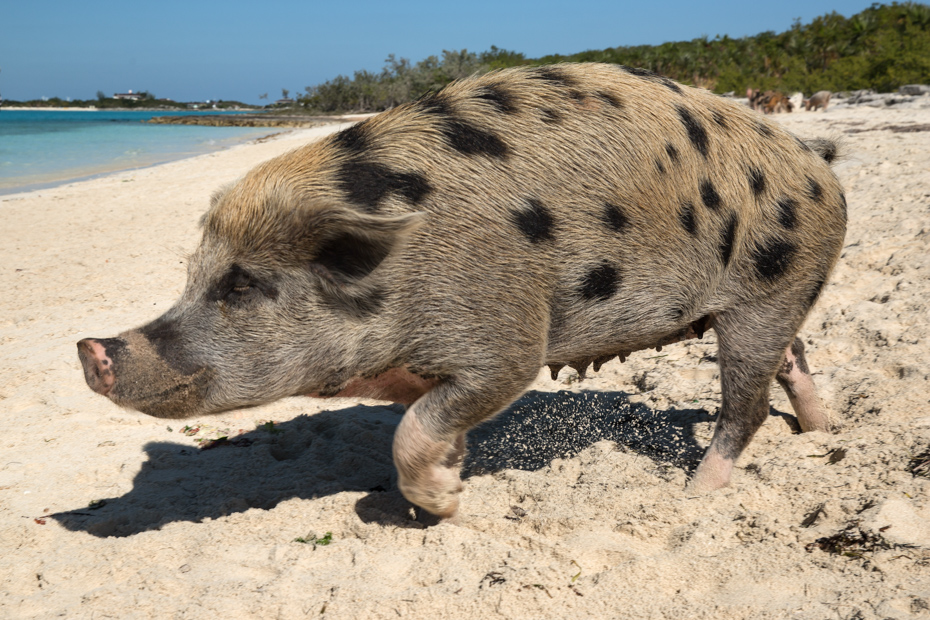 Pig Beach Bahamas is the best place to tour Exumas pigs. Bahamas Air Tours can save you the most time for your viewing pleasures and let's you choose when you're ready to leave Pig Island (Big Major Cay).