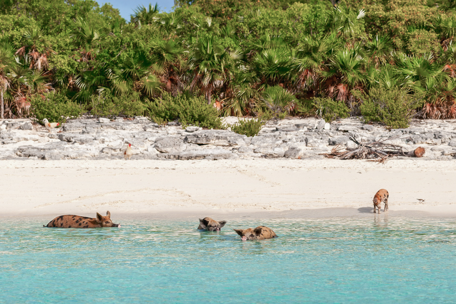 Pig Beach Bahamas is where the Bahamas Swimming Pigs live and must be visited by plane on a Bahamas Day Trip from Nassau or Miami.