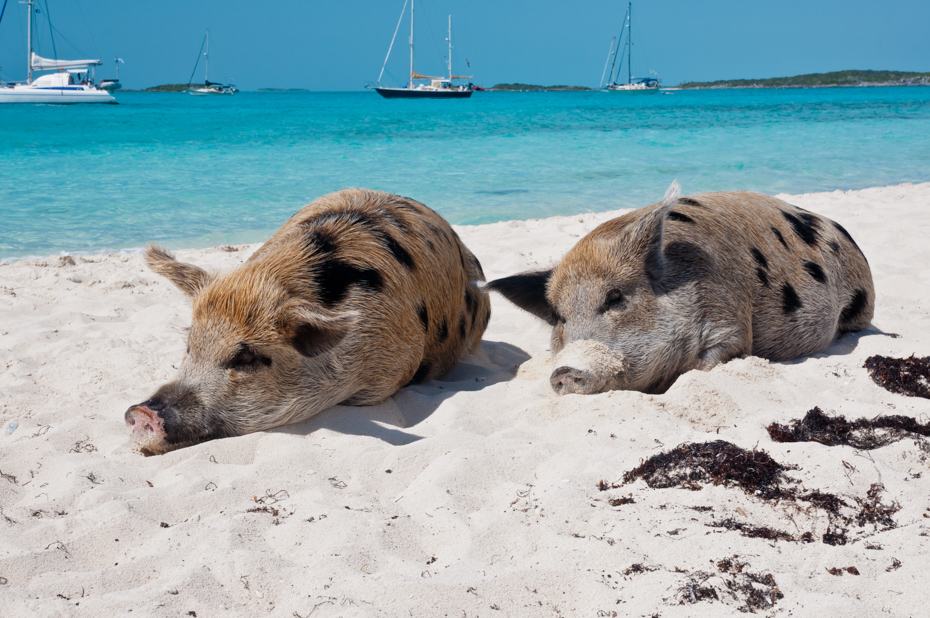 Pig Beach is the Bahamas top destination. Take a Swimming Pigs tour by Plane.