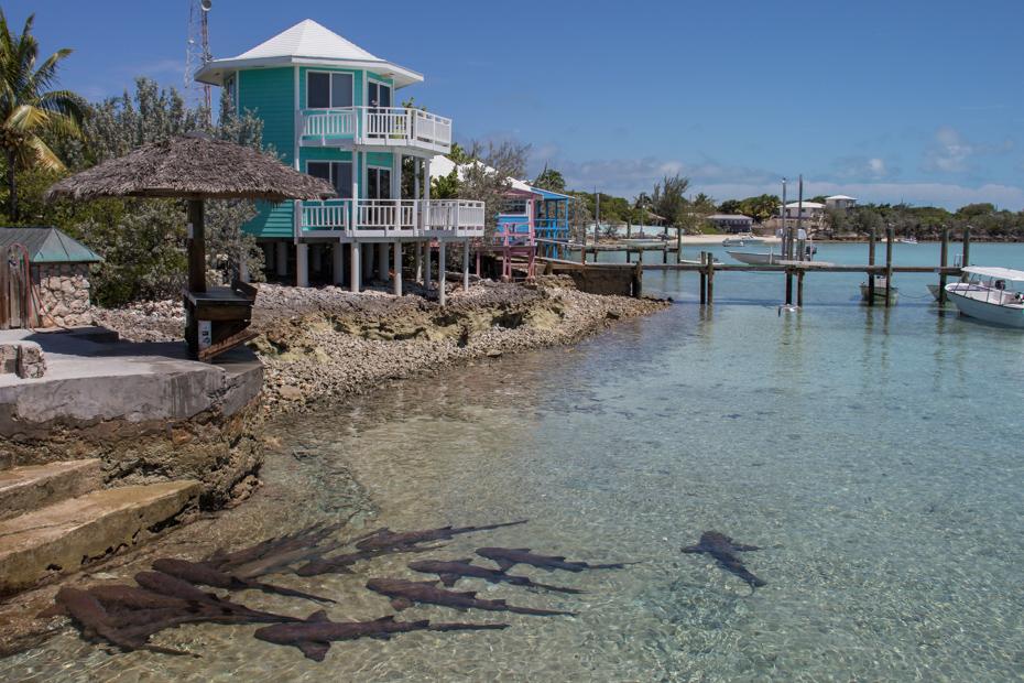 Nurse Sharks can be seen at the Staniel Cay Yacht Club Marina in the Bahamas Exumas.