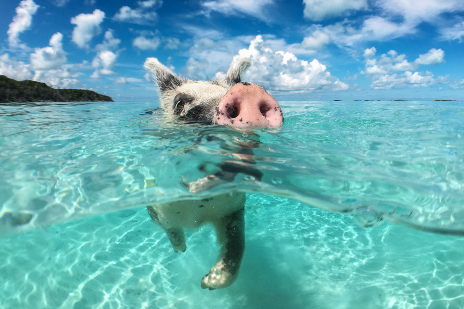 See the Bahamas swimming pigs of Big Major Cay. While staying at Staniel Cay accommodation on a Bahamas Beach, check out the swimming pigs Bahamas at Pig Island.