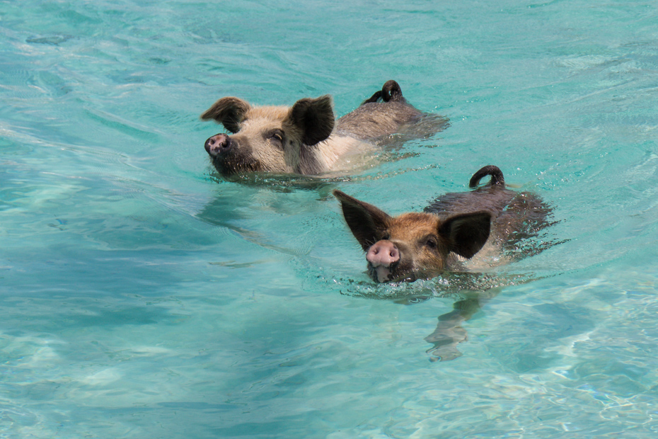 Swimming Pigs beach, located on Big Major Cay in the Exumas is one of the best things to do in Bahamas.