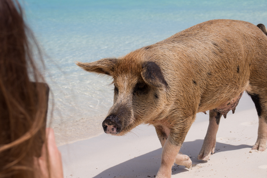 Swimming PIgs island is located in the Exumas next to Staniel Cay. It is also called Big Major Cay and is home to the famous Bahamas Swimming Pigs.