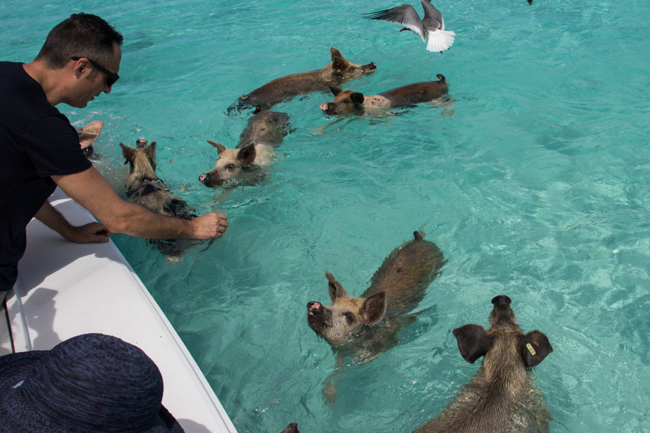 Take a swimming Pigs tour by plane with Bahamas Air Tours to visit the famous Bahamas Swimming Pigs at Staniel Cay in the Exumas