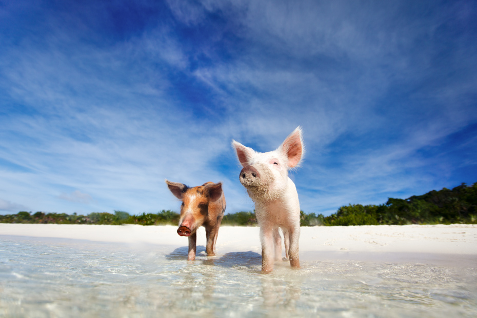 Swimming pigs of the Bahamas in the Out Islands of the Exuma. A list of things to do in West Palm Beach Florida including downtown West Palm Beach. Take a day trip to Bahamas swimming pigs for a relaxing getaway.