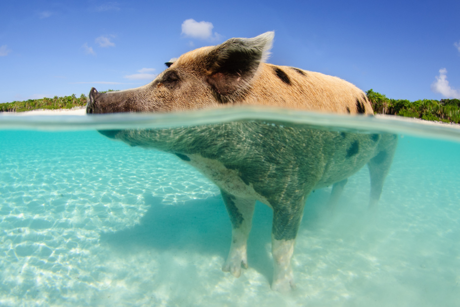 The island with pigs could be the best island in Bahamas. Take a Bahamas day tour with us today! On a Miami to Bahamas day trip with Bahamas Air Tours today
