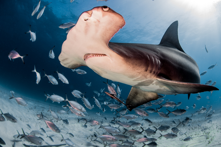 Go diving in Bimini to see excellent marine life. On your Bimini cruise with Bahamas Air Tours, you will see Bimini Bahamas at its best. Find out Where is Bimini before leaving.