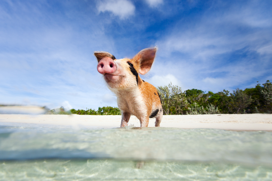 A day trip to Bahamas to see the island with pigs. Daytona to Miami day tour to Bahamas. Climb aboard a Nassau to Staniel Cay day tour or opt for the Staniel Cay Day trip by the way of Bahamas Day Trip by plane.