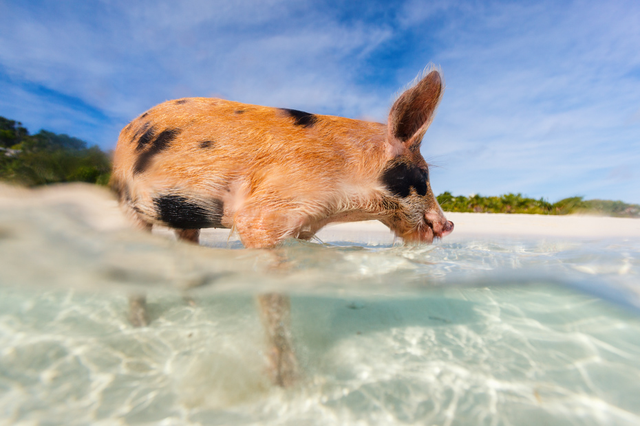 Little piglet in the clear waters of the Bahamas. Take a Florida to Bahamas vacation with Bahamas Air Tours today. Come on a Bahamas vacation today.
