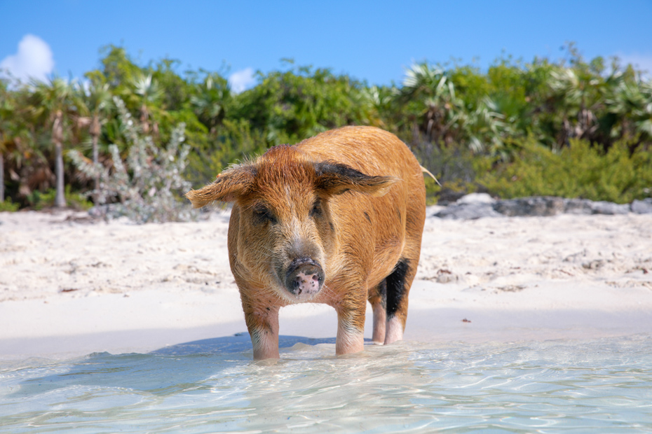 Take one of Bahamas Air Tours Pig Island tours. See the Bahamas pigs up close. Come with Bahamas Air Tours on a Trip to Bahamas to see pigs in Bahamas.
