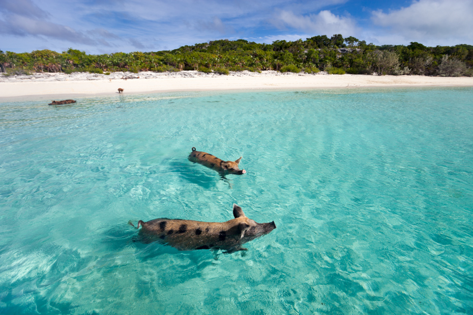 Swimming pigs of the Bahamas in the Out Islands of the Exumas. Take a trip to Bahamas with Bahamas Air Tours for your Bahamas holidays. Flights to Bahamas has never been nicer.