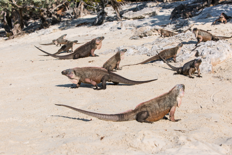 Take a trip to Bahamas to see the endangered rock iguanas. These iguanas can only be seen on a Bahamas holidays and are one of the top Nassau Bahamas activities. Bahamas Air Tours can take you straight to them.